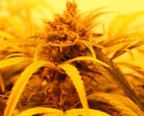 NEČAKANÝ OBJAV: Vedci odhalili ďalší liečivý účinok marihuany