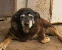 Maggie, najstarší pes na svete zomrel! Neuveríš, akého veku sa dožila!