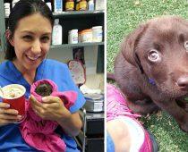 Veterinárka zachránila pred istou smrťou tohto krásneho čokoládového labradora