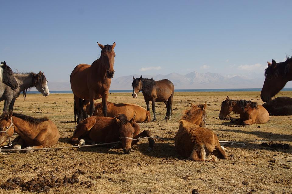 Kirgizsko, chov koní