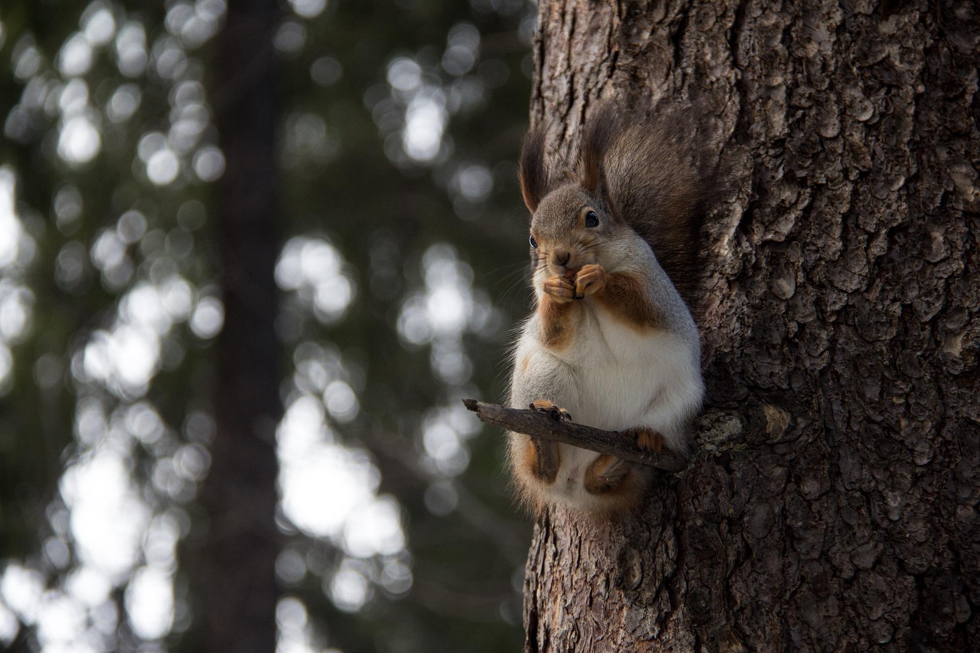 veverička a slabá pamäť